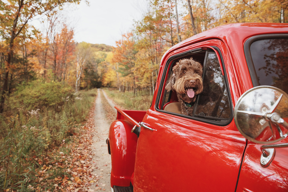 Lifestyle image of a red doodle hanging out the window of a red vintage truck on a dirt road in New York