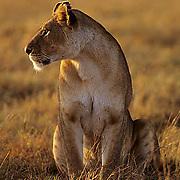 African Lion, (Panthera leo) Portrait of female. Masai Mara Game Reserve. Kenya. Africa.
