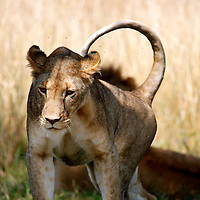 Africa, Kenya, Maasai Mara. Female lioness in the Mara.