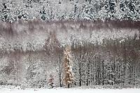 10.11.2016 woj podlaskie Pierwsze intensywne opady sniegu tej zimy spowodowaly utrudnienia na drogach , przerwy w dostawach pradu i w ciagu jednego dnia zmienily jesienne widoki w piekny zimowy pejzaz N/z osniezone drzewa w Puszczy Knyszynskiej fot Michal Kosc / AGENCJA WSCHOD