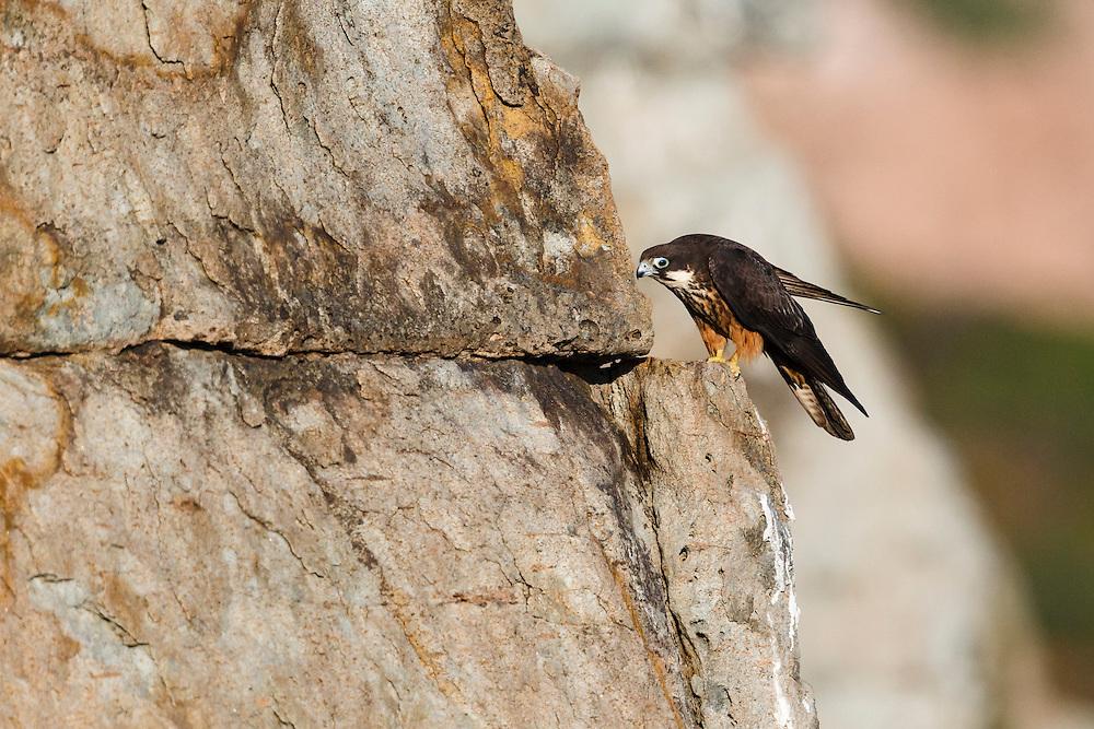 Eleonora's Falcon - Falco eleonorae