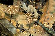 Umbrella Fungus, Marasmius sp, Tambopata Rainforest, Amazonian Peru, growing on forest floor,