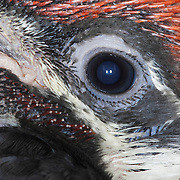 Pileated Woodpecker (Dryocopus pileatus) close up of eye, during the summer in Montana. It is the largest woodpecker most commonly seen in North America.