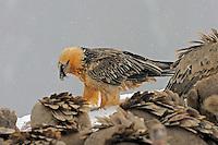 Lammergeier; Gypaetus barbatos; Gåsgam; Gyps fulvus, Cebollar, Torla, Aragon, Spain.