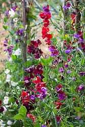 Sweet peas in the cutting garden. Lathyrus odoratus 'Matucana'