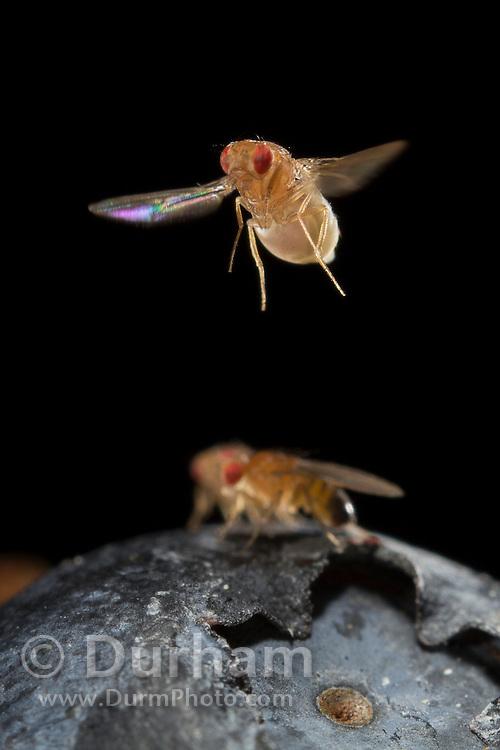 common fruit flies (Drosophila melanogaster)  are attracted to ripe American blueberries (Vaccinium corimbosum). Westen Oregon.