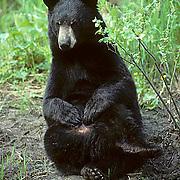 Black Bear, (Ursus americanus) Minnesota, lone bear grooming and scratching self in forest. Spring.