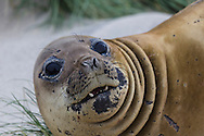 Young elephant seal lying on a sandy beach, Sea Lion Island, Falkland Isles