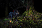 A Tasmanian devil walks past a large Myrtle tree during the night in an alpine region of Tasmania. Tasmanian devils are active in all weather conditions, if they need to eat, they will be out looking for carrion or hunting weak or young prey.