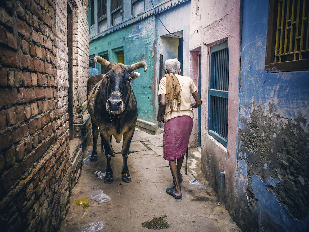 Varanasi, India - October 10, 2015 Senior man walking beside cow in one of the small alleys of Varanasi. This city is considered as on e of the oldest in the world and the old quarter is like a maze of small alleys and streets