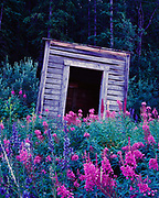 Fireweed and delphinium blooming by outhouse in the back reaches of Carcross, Yukon Territory, Canada.