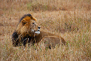 Lone Lion (Panthera leo) Photographed in the wild