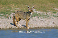 01864-03207 Coyote (Canis latrans) at water Starr Co. TX