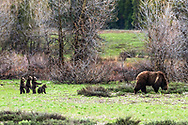 Four tenative grizzly bear cubs pause as they explore their new world.  Grizzly sow #399 roams Grand Teton National Park.