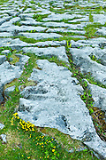 Wild native flower flora and limestone pavement glaciated karst landscape in The Burren, County Clare, West of Ireland