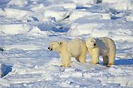 01874-07306 Polar Bear (Ursus maritimus) on the ice of Hudson Bay  Churchill MB