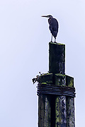 Great Blue heron on pilings watching over the harbor in Pelican Alaska.