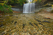 Salmon spawning. Kagawong River at Bridal Veil Falls in Kagawong. <br /> Manitoulin Island<br /> Ontario<br /> Canada