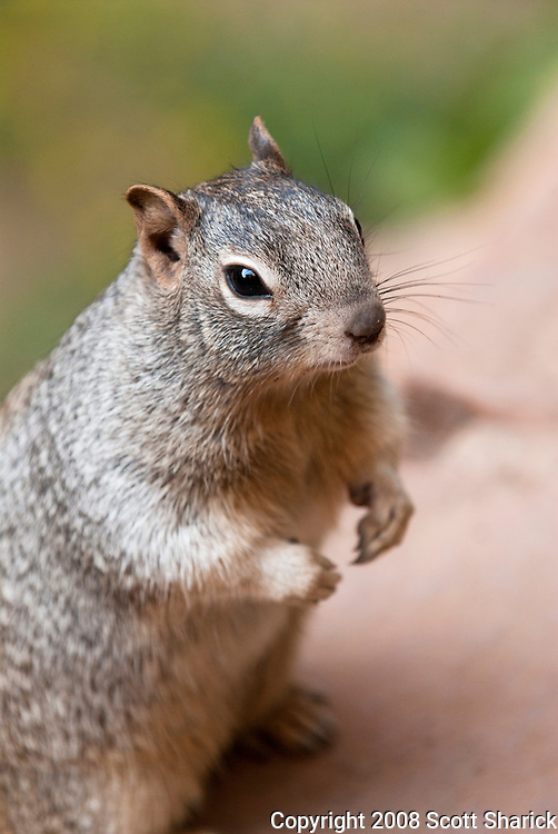 A squirrel sits up on its hind legs in Zion National Park in Utah. Missoula Photographer