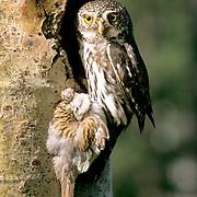 Northern Pygmy Owl, (Glauidium gnoma) Male with prey bringing food to female and chicks. Western Montana. Summer.