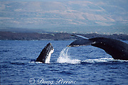 humpback whales, in frenzied competition for access to a female, the escort (right) uses his fluke to ward off a male challenger coming up from behind, Kona Coast, Hawaii Island ( the Big Island ), Hawaii, USA ( Central Pacific Ocean )