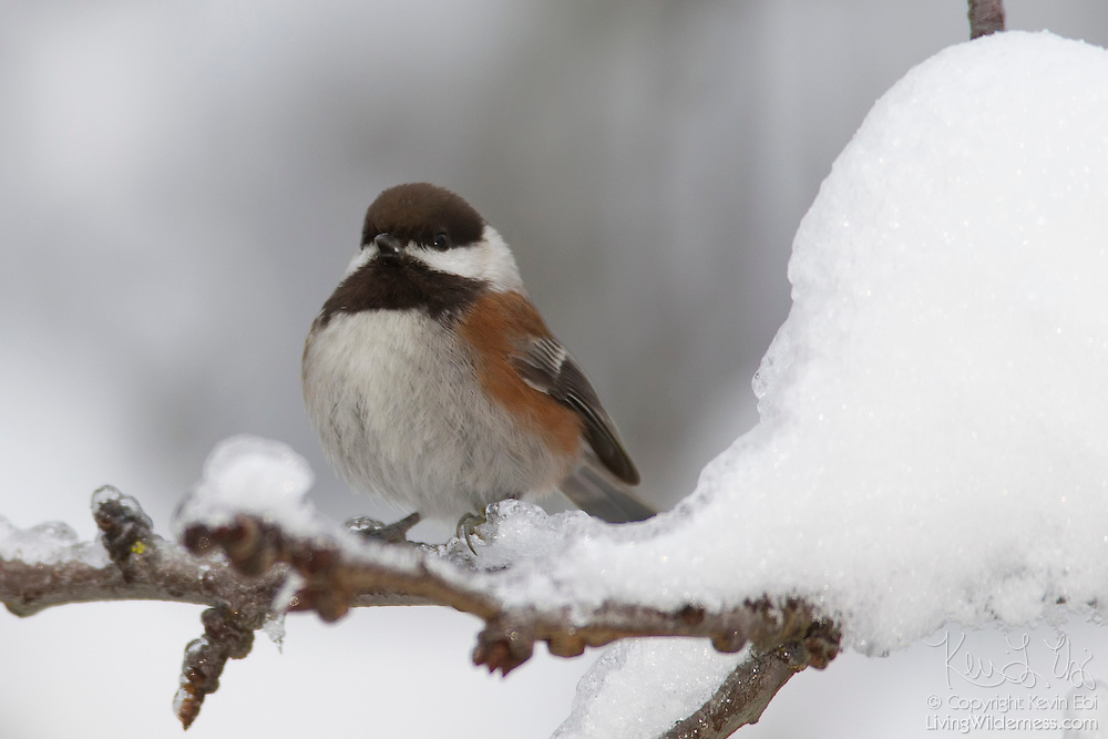 A chestnut-backed chickadee (Poecile rufescens) is dwarfed by the snow that accumulated on a branch during a winter snow storm. The black-capped chickadee can lower its body temperature to survive cold winter nights. In France, it is known as Mésange à tête noire.