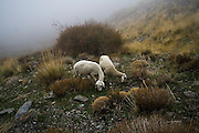 Two sheep standing together graze alone in the mist on the dry hill slopes at the foothills of the Sierra Nevada outside the village of Capileira, Andalusia, Spain.