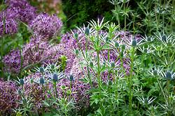 Eryngium × zabelii 'Jos Eijking' with Allium cristophii