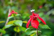 Native Hibicus Flower, Olu Pua Gardens; Kalaheo; Kauai; Hawaii