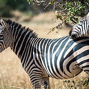 Two zebras at Tarangire National Park in northern Tanzania not far from Ngorongoro Crater and the Serengeti.