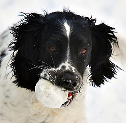 © Licensed to London News Pictures.27/02/2018<br /> Bromley, UK.<br /> Wilson the English Springer Spaniel (age 3)  playing with his tennis ball which has turned into a snow ball.<br /> Photo credit: Grant Falvey/LNP