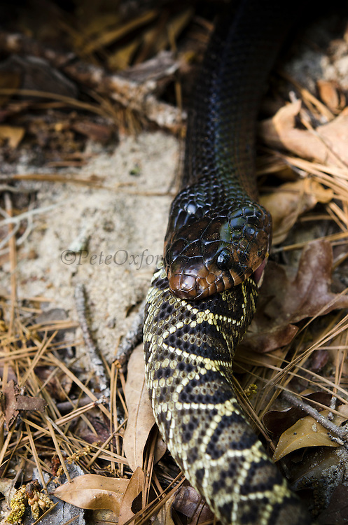 Eastern Indigo Snake (Drymarchon couperi) feeding on Eastern Diamondback Rattlesnake (Crotalus adamanteus)<br /> CAPTIVE<br /> The Orianne Indigo Snake Preserve<br /> Telfair County, Georgia<br /> USA<br /> HABITAT & RANGE: Long leaf pine sandhills of central plains of Georgia, southern South Carolina south through Florida and west to Louisiana, Mississippi, and Alabama that are populated with Gopher Tortoises.<br /> Federally listed as THREATENED SPECIES