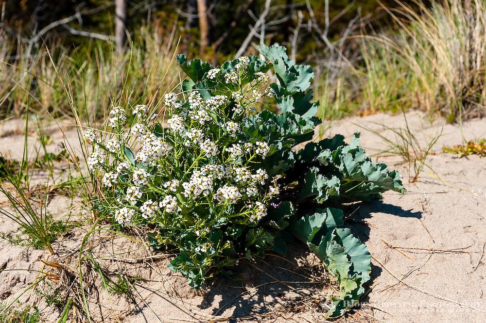 Sweden, Gotska Sandön national park. Around Tärnudden. Wild cabbage.