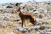 Africa, Ethiopia, Ethiopian wolf Canis simensis Bale Ethiopia
