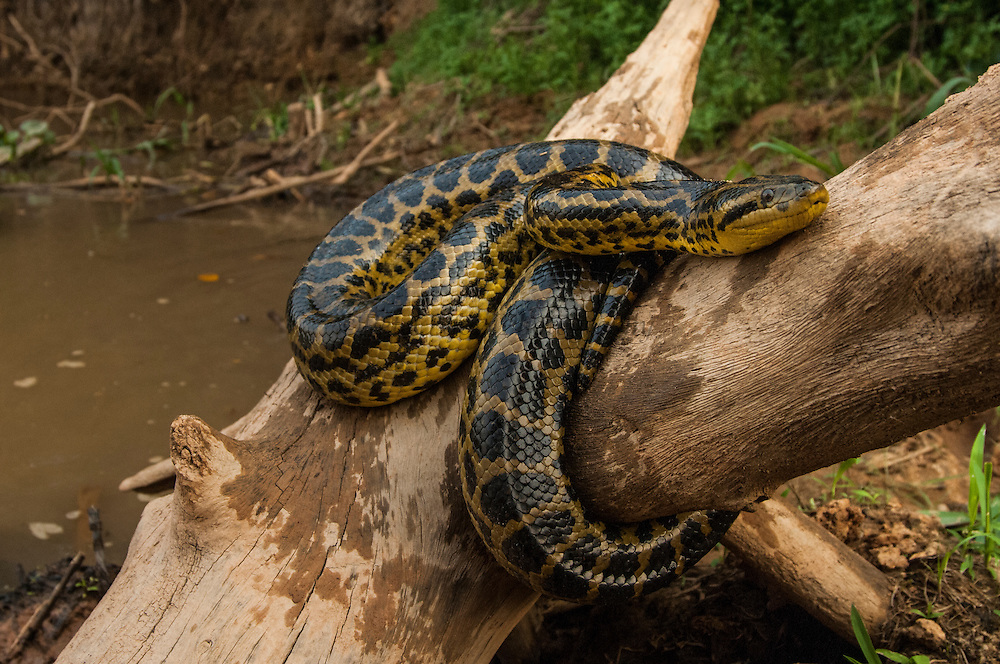 Anaconda (Eunectes murinus)<br /> Pantanal. Largest contiguous wetland system in the world. Mato Grosso do Sul Province. BRAZIL.  South America<br /> RANGE: Trinidad and tropical South America, east of the Andes, south to Bolivia, Northern Paraguay and Brazil