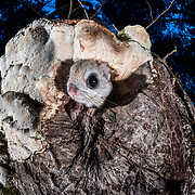 This Japanese dwarf flying squirrel (Pteromys volans orii) is just emerging from its nest in the trunk of a tree at dusk to prepare for a night of foraging. Found only in Hokkaido, Japan, these animals prefer small holes to their nests, as this provides a measure of protection from predators like owls and martens. This particular nest entrance is also partially covered by a large white fungus, which obscures it from view. This animal is a sub-species of Siberian flying squirrel and is known locally as ezo-momonga.