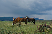 A thunderstorm brews in the background while two broodmares and a colt graze in a pasutre east of Trinidad, Colorado.