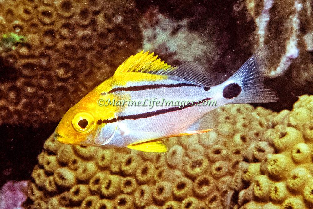 Porkfish, juvenile, inhabit reefs in Tropical West Atlantic; picture taken Hollywood, FL.