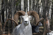 Dall sheep (Ovis dalli) Ram - captive