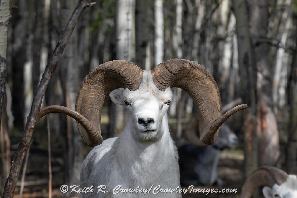 Dall sheep (Ovis dalli) Ram - captive