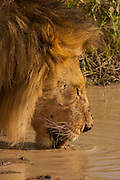 Lion, drinking from a waterhole. Serengeti National Park