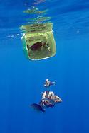 Grey triggerfish, Balistes carolinensis, playing hide and seek! Pico, Azores, Portugal