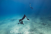 Pacific whitespotted eagle rays or Pacific eagle ray, Aetobatus laticeps, and free-diving photographer, Black Rock, West Maui, Hawaii, USA ( Central Pacific Ocean )