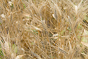 close up of golden ripe wheat stalks