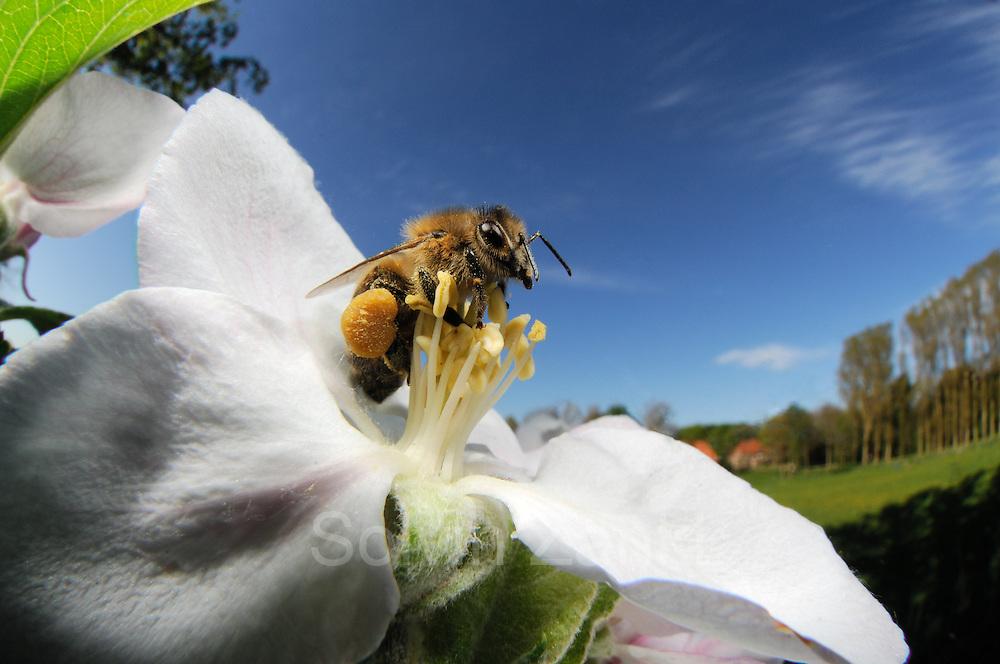 Honey bee (Apis mellifera) collecting pollen from the flower of an apple tree | Die Honigbiene (Apis mellifera) sammelt Pollen in einer Apfelbaumblüte. Ganz nebenbei bestäubt sie dabei die Blütenpflanzen und wird damit zum wichtigsten Bestäuber in Deutschland