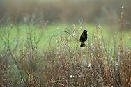 Red-winged Blackbird, San Luis National Wildlife Refuge, near Los Banos, Merced County. California