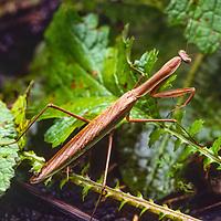 A praying mantis in Nepal