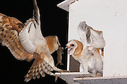 Israel, Barn Owl (Tyto alba) coop in the fields. Parent feeding hatchlings with a hunted rat. The Barn Owl is used by the farmers in Israel as a natural pest control. Barn Owls are one of the most economically valuable wildlife animals to farmers. Farmers often find these owls more effective than poison in keeping down rodent pests, and they can encourage Barn Owl habitation by providing nest sites.