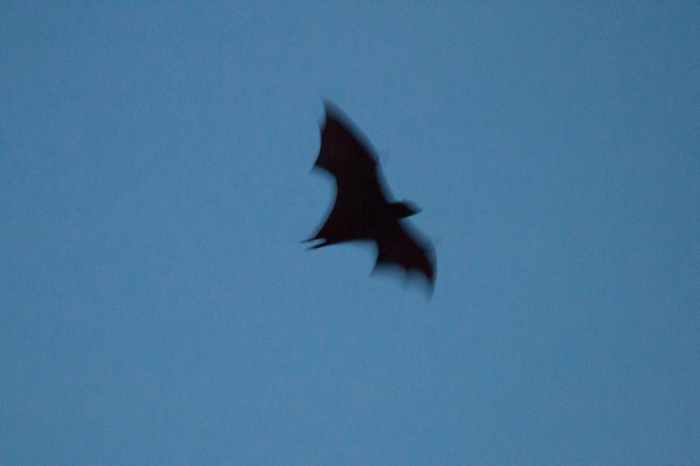 Twilight flight of the fruit bat in motion, Pine Creek, Northern Territory, Australia.