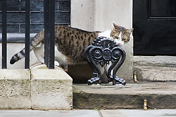 Downing Street, London, August 2nd 2016. Tensions appear to be ongoing in Downing Street as Larry the cat from No. 10 and Palmerston, newly resident at the Foreign Office continue their territorial feud. PICTURED: Keeping a wary eye on Palmerston, Larry retreats to the door of No 10.